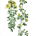 Botanical - St. Johns Wort - Wayside and Woodland 1895 - Plate 47