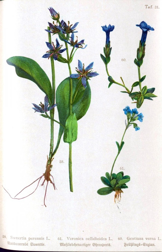 Botanical - Sudetenflora - Veronica belloidies