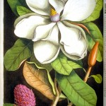 Botanical - Tree - Catesby - Magnolia