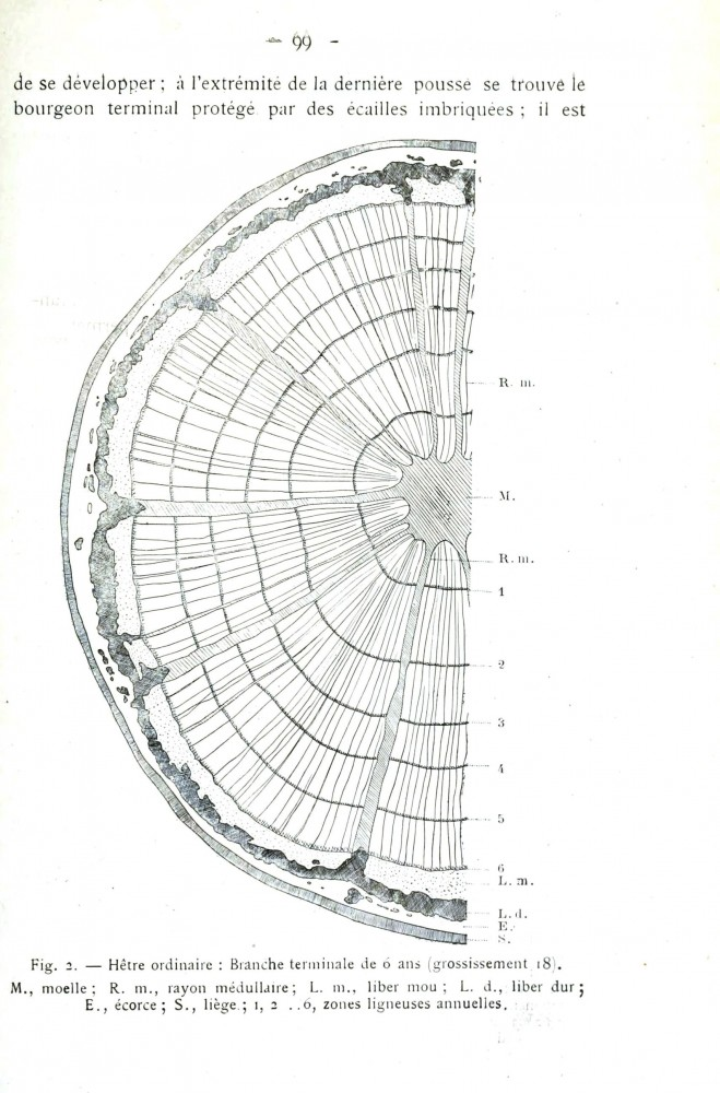 Botanical - Tree - Tree ring diagram