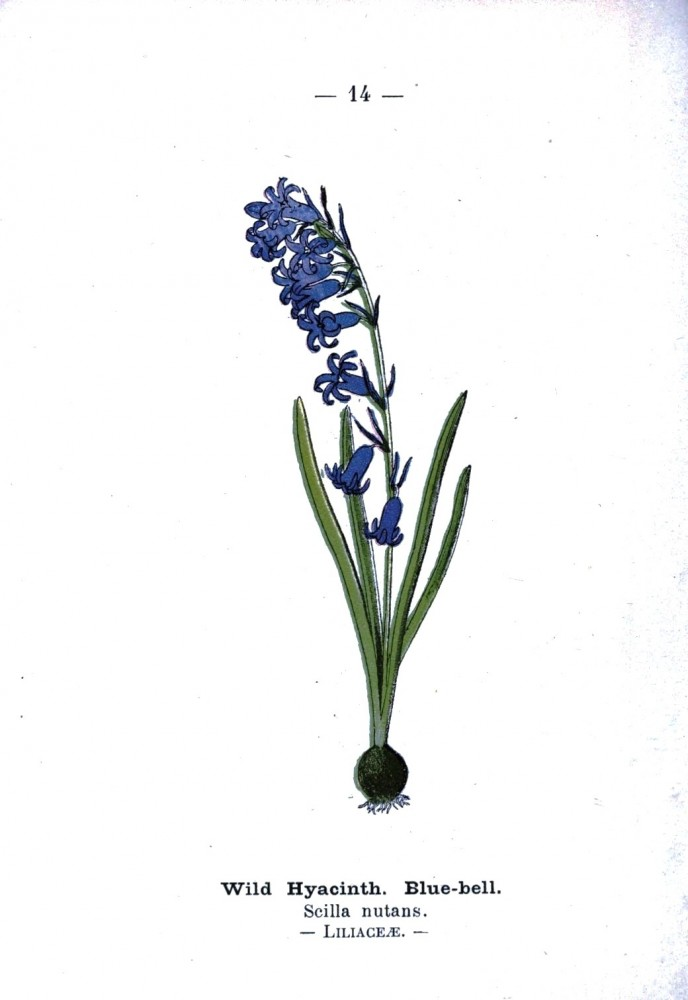 Botanical - Wild hyacinth - Wayside and Woodland 1895 - Plate 13