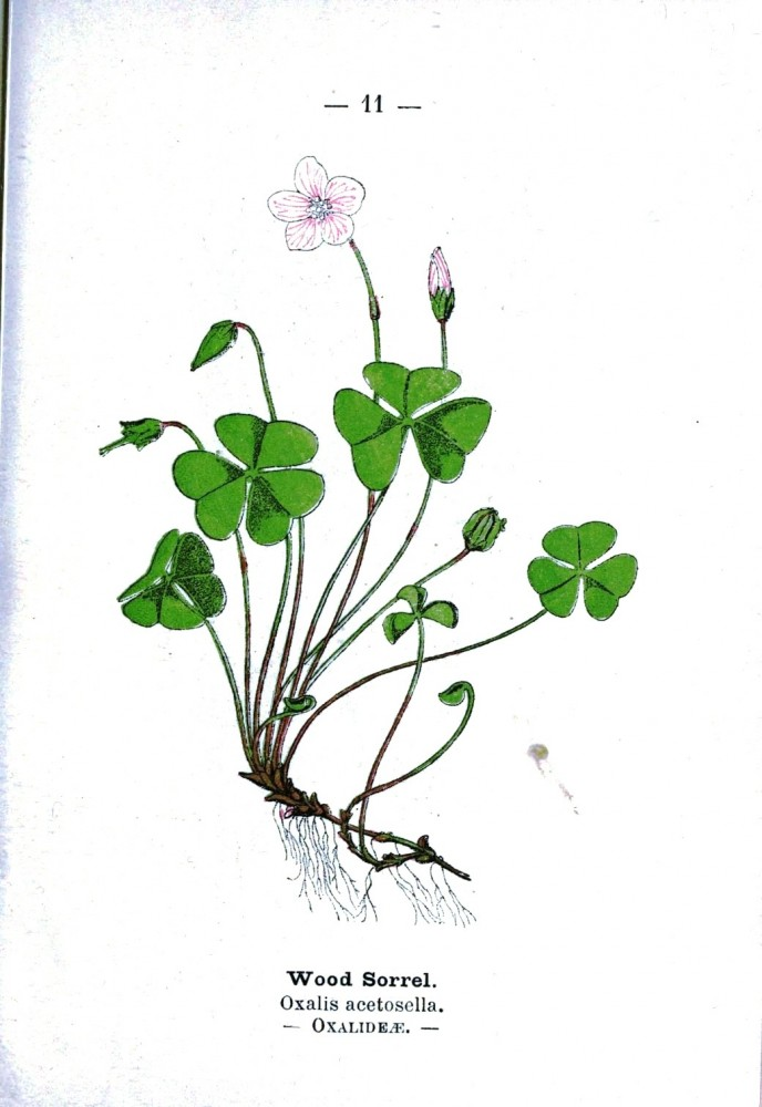 Botanical - Wood Sorrel - Wayside and Woodland 1895 - Plate 11