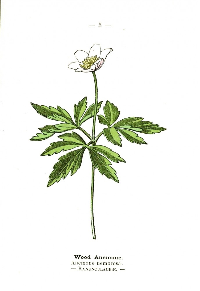 Botanical - Wood anemone - Wayside and Woodland 1895 - Plate3