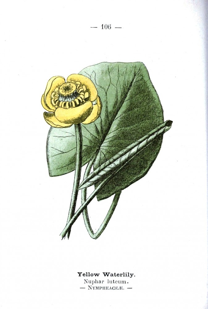 Botanical - Yellow waterlilly - Wayside and Woodland 1895 - Plate 106