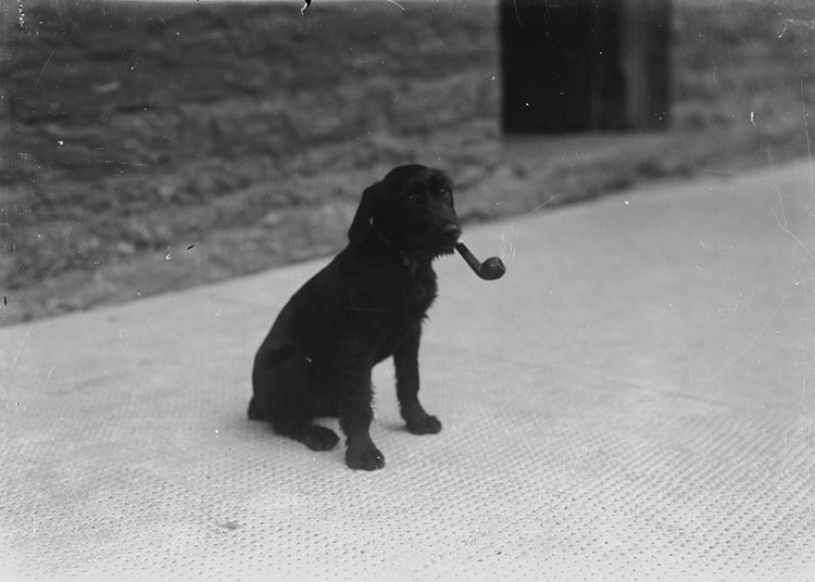 Portrait - Photo - Dog with pipe in its mouth -
